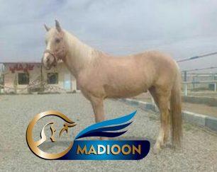 خرید اسب و فروش اسب_بی قرار