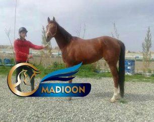 خرید اسب و فروش اسب_ سلنا