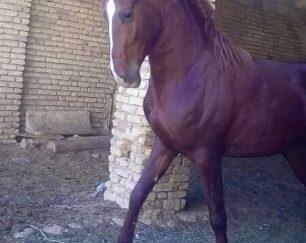 خرید اسب و فروش اسب _ سیلمی عقاب مهشید