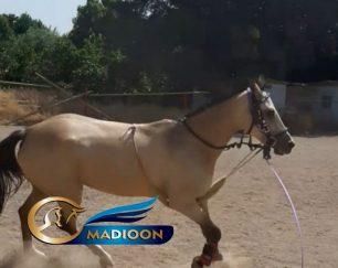 خرید اسب و فروش اسب_ آهو