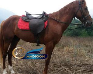 خرید اسب و فروش اسب_ اسب ترکمن اصیل