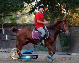 خرید اسب و فروش اسب_ سیمباد