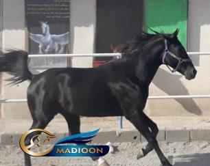 خرید اسب و فروش اسب_ آقا سیاه