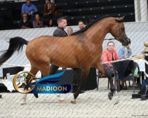 خرید اسب و فروش اسب_ باتیس