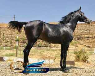 خرید اسب و فروش اسب_ اسب ترکمن آخال تکه
