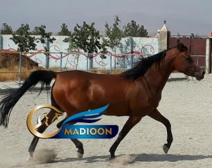 خرید اسب و فروش اسب_ الیزابت