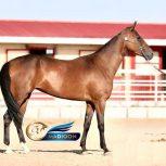 خرید اسب و فروش اسب- کره اسب ترکمن