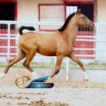 خرید اسب و فروش اسب_ کره اسب دره شوری
