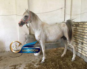خرید اسب و فروش اسب_ کیمیا