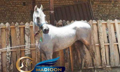 خرید اسب و فروش اسب_ اسب عرب مصری