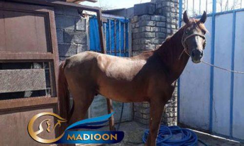 خرید اسب و فروش اسب_ اسب عرب کرد