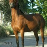 خرید اسب و فروش اسب_وِرونا مرندی
