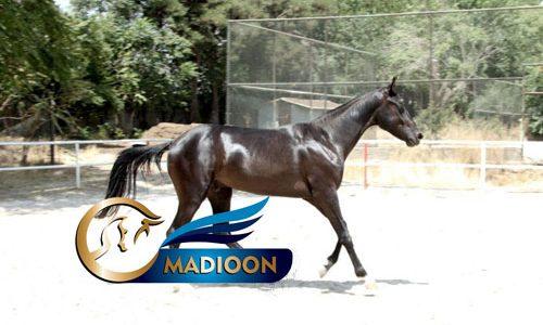 خرید اسب و فروش اسب_ بلک دیاموند