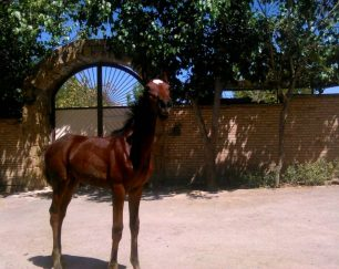 خرید اسب و فروش اسب_ ژالان