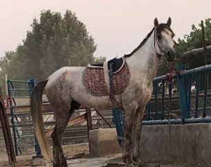 خرید اسب و فروش اسب_ نریان دوخون