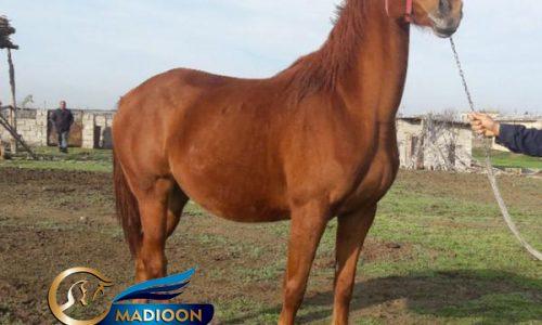 خرید اسب و فروش اسب_ مادیان تروبرد