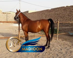خرید اسب و فروش اسب_ مادیان دره شوری