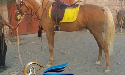 خرید اسب و فروش اسب_ اسب سمند