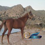 خرید اسب و فروش اسب_ مادیان کرد