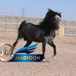 خرید اسب و فروش اسب_ امیر