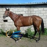 خرید اسب و فروش اسب_اسب دوخون