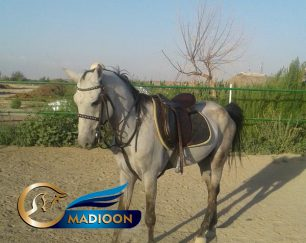 خرید اسب و فروش اسب_ نریان ترکمن