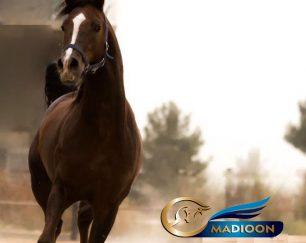 خرید اسب و فروش اسب_ نریان عرب وارداتی