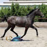 خرید اسب و فروش اسب_ اسب هلشتاین