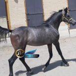 خرید اسب و فروش اسب_ کره اسپرسیوو
