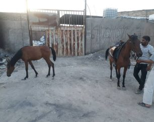 خرید اسب و فروش اسب_اسب مادیون با کره یکساله مادیون