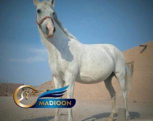 خرید اسب و فروش اسب_مادیان آبستن