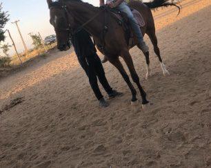 خرید اسب و فروش اسب_ آلوین