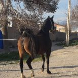 خرید اسب و فروش اسب_ آدرینا