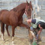 خرید اسب و فروش اسب_ نریان عرب خالص ایرانی