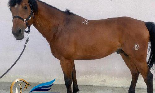 خرید اسب و فروش اسب_ تراکنر