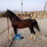 خرید اسب و فروش اسب_ عرب خالص ایرانی