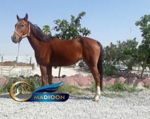 خرید اسب و فروش اسب_ مادیون یکسر خارجی