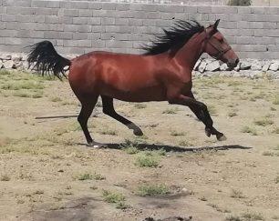 خرید اسب و فروش اسب_ حنا