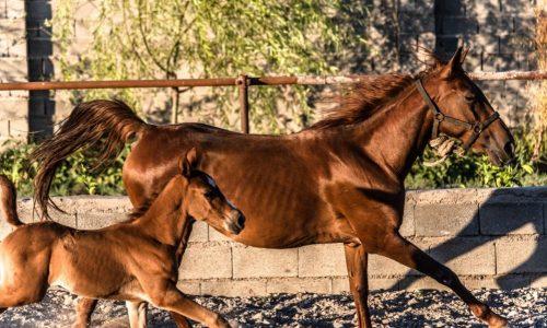 خرید اسب و فروش اسب_ مادیون با کره نریون چاووش