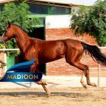 خرید اسب و فروش اسب_الماس