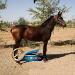 خرید اسب و فروش اسب_ کره اسب آیلی