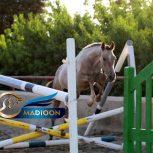 خرید اسب و فروش اسب_ اسب ترکمن پرشی