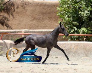 خرید اسب و فروش اسب_آراد