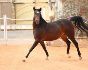 خرید اسب و فروش اسب_کلهر