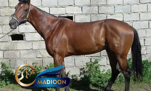 خرید اسب و فروش اسب_ ژاکلین