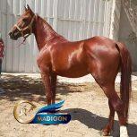 خرید اسب و فروش اسب_ نریون دره شوری