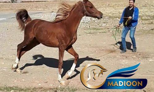 خرید اسب و فروش اسب_عقربی