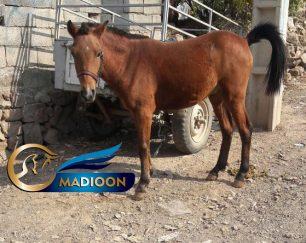 خرید اسب و فروش اسب_ کره اسب