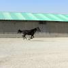 خرید اسب و فروش اسب_مشکی ناز