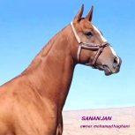 خرید اسب و فروش اسب_ سیلمی سنان جان